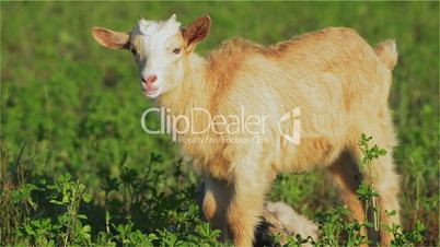 Goat, Goatling, Kiddy, Kid, Muzzle, Eyes, Youngster, Brown, Mammal, Horns, Milk,Farm