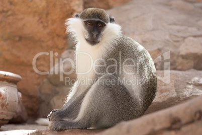 Green monkey animal in their natural habitat photo. Africa. Kenya.