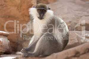Green monkey animal in their natural habitat photo. Africa. Kenya.