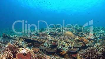 Whitetip reef sharks on a coral reef with plenty fish