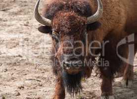 Great American Bison looking forward himself