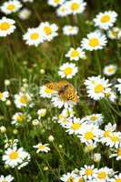 White and yellow daisies with Silver-washed Fritillary (Argynnis
