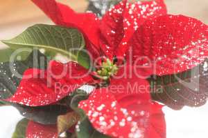 Red poinsettia holiday flower