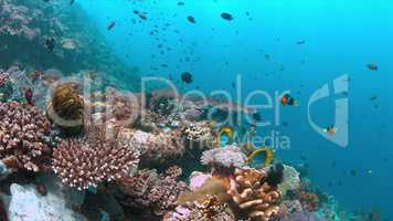 Coral reef with healthy hard corals and plenty fish