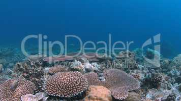 Coral reef in Philippines