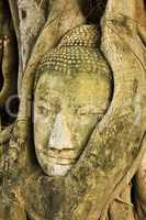 A buddha head inside a tree in Ayudhaya