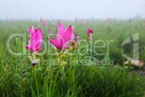 Siam Tulip or Summer Tulip