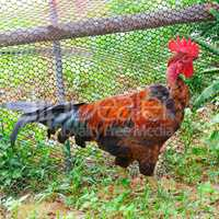 rooster with bright plumage in a garden