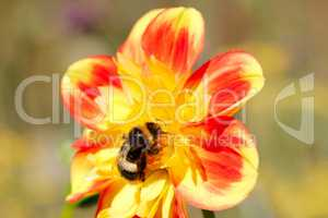 Bee collecting pollen from dahlia