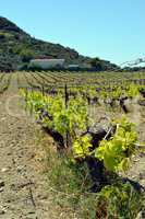 Vineyards in flowers in the campaign.