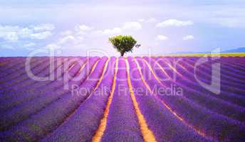 The tree in the lavender