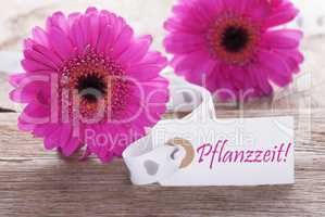 Pink Spring Gerbera, Label, Pflanzzeit Means Planting Season
