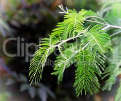 Branch of a Mimosa on a dark background.