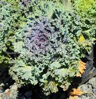Ornamental cabbage.