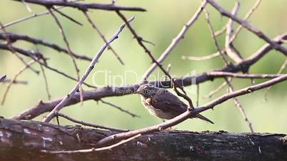 Common whitethroat jumping on branches that are flooded with morning sun