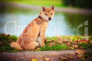 Young shiba inu sits in green garden
