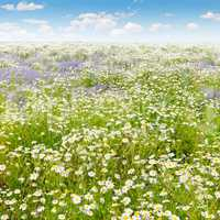 Field with daisies and blue sky, focus on foreground. Shallow de