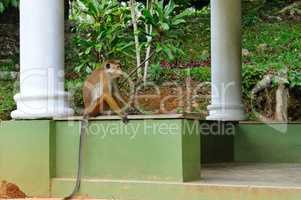 Funny monkey with a long tail, sitting in the gazebo Botanical G