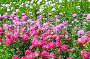 Flowerbed of multi-colored asters. Focus on a red flower. Shallo