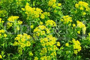Sumpf-Wolfsmilch (Euphorbia palustris)