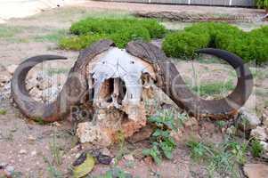 Buffalo skull posing on a stone