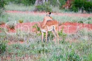 Impalas in the savanna