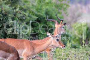 Impalas with tusks in the savanna