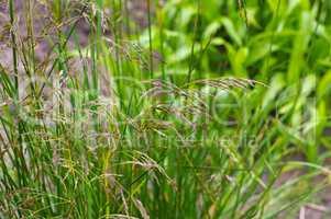 Rasen-Schmiele - Deschampsia cespitosa - Tufted Hairgrass, Deschampsia cespitosa