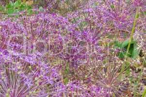 Sternkugel-Lauch, Allium cristophii, lila Blumen im Garten - Persian onion, Allium cristophii, purple flower balls