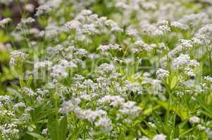 Waldmeister oder Galium odoratum - sweetscented bedstraw or Galium odoratum