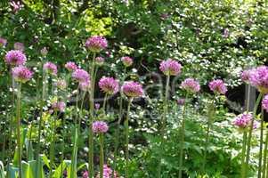 Zierlauch , lila Blumen im Garten - ornamental onion Allium, purple flower balls