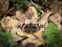 Red Admiral butterfly basking on dead leaves