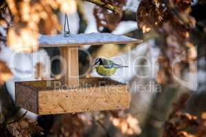 Small tom-tit looking for birdseed in the bird feeder