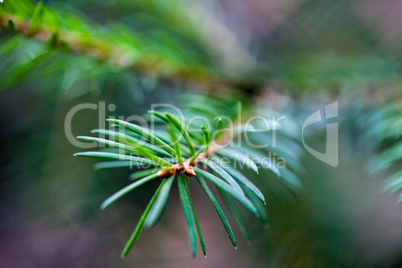 Spruce Evergreen Tree