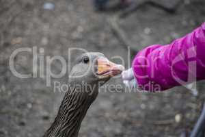 A young girl extending her hand to feed a greylag goose