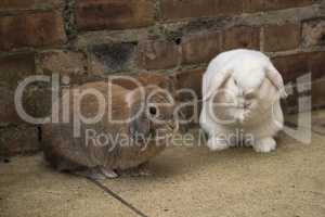 Brown and white Mini Lop rabbits on the ground