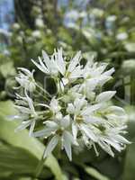 Ramsons, Allium ursinum, flowerhead with open flowers