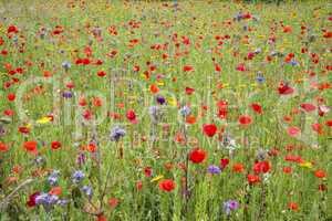 Wildflower meadow in summer