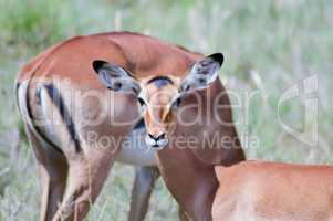 Three Impalas in the savanna