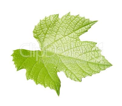 Vine leaf isolated over white