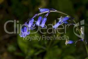 English bluebell stem, Hyacinthoides non-scripta
