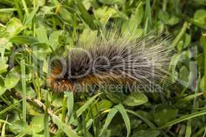 Woolly Bear caterpillar of the Garden Tiger Moth