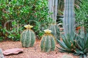 Cacti and other sukkulenty.Fokus on a cactus with a flower, shal