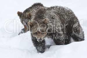 Europäische Braunbären im Schnee