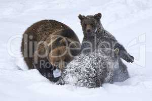 Europäische Braunbären spielen im Schnee