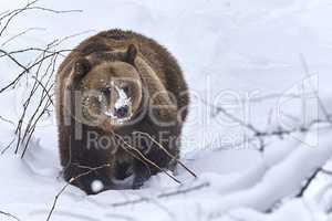 Europäischer Braunbär im Schnee