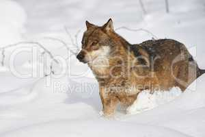 Europäischer Wolf im Schnee