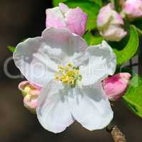 Flowers and buds of apple trees on a dark background. Focus on a