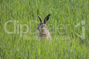 Brown hare in sitting green field