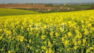 Flowering Rapeseed Field and Wind